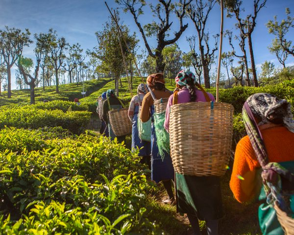 What is Assam tea