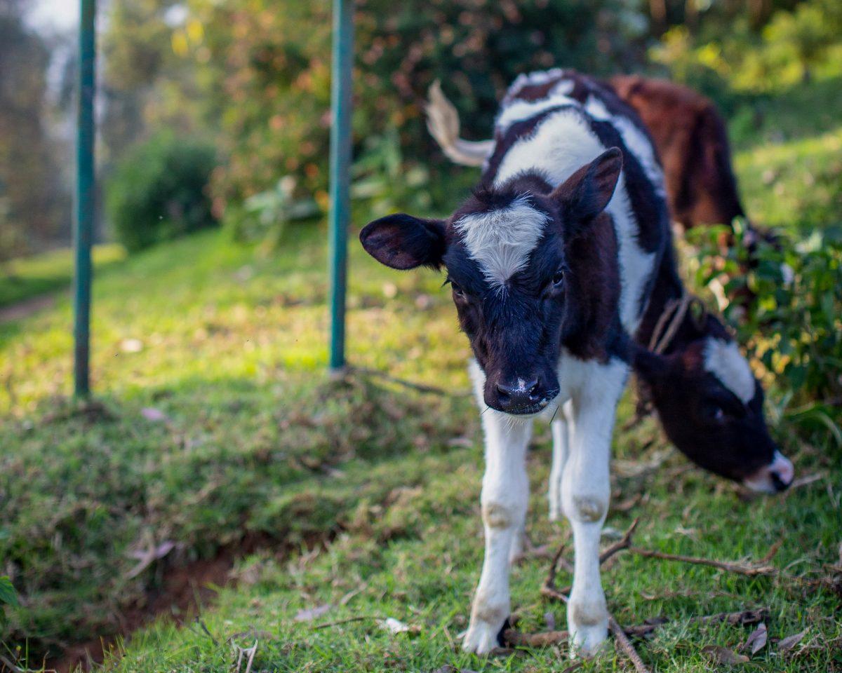 Cow Welbeck Estate