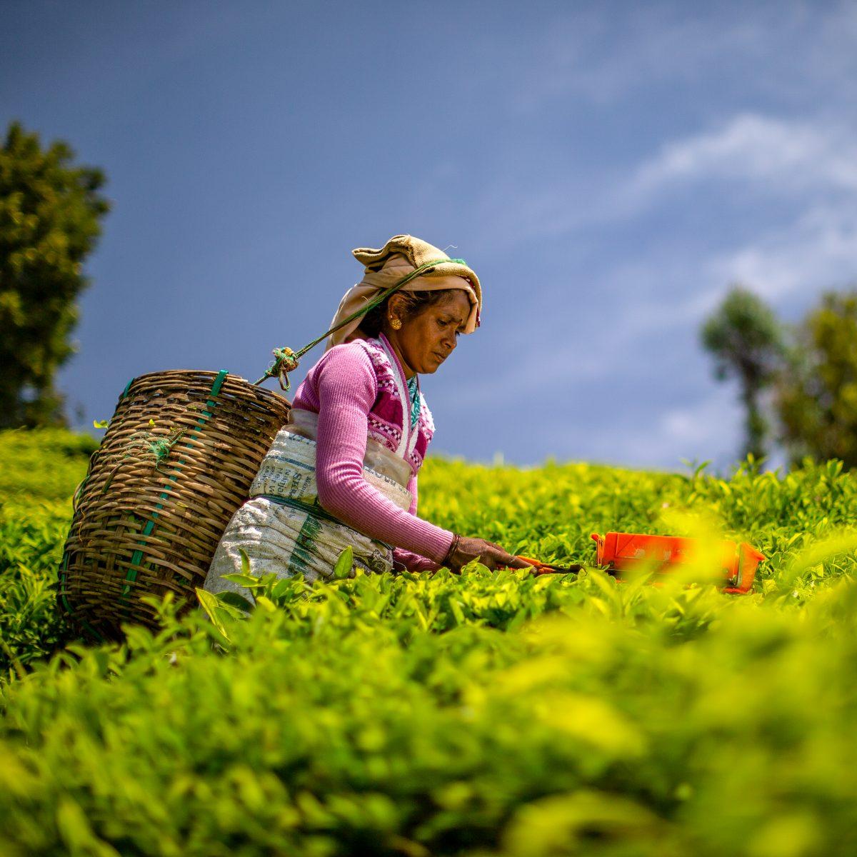 Bhakyam Nagaraj tea plucker Korakundah