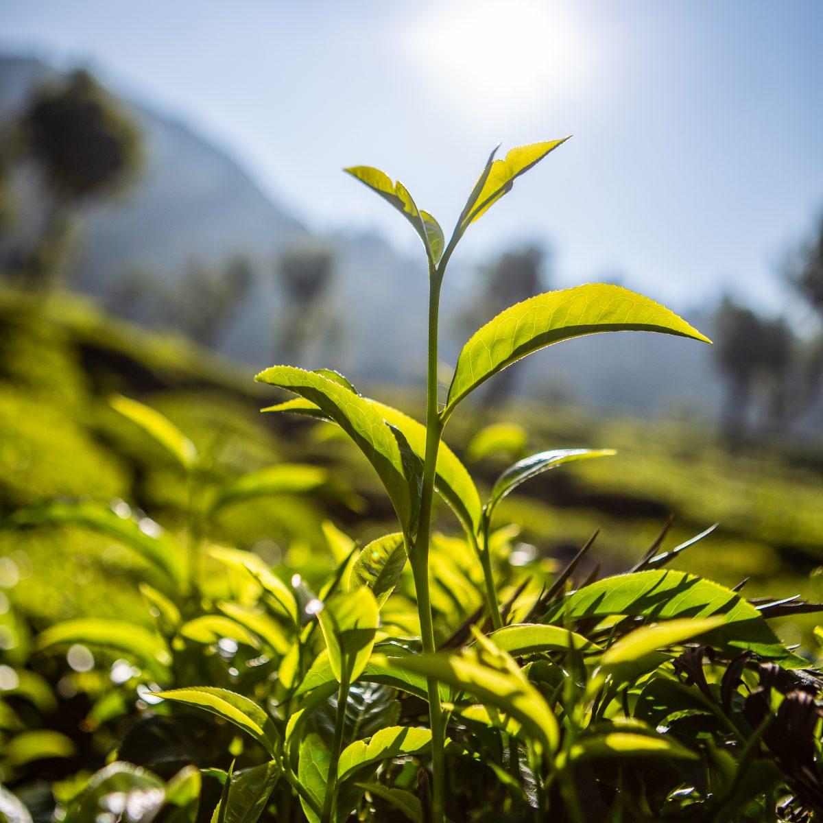 Tea growing Dunsandle Estate